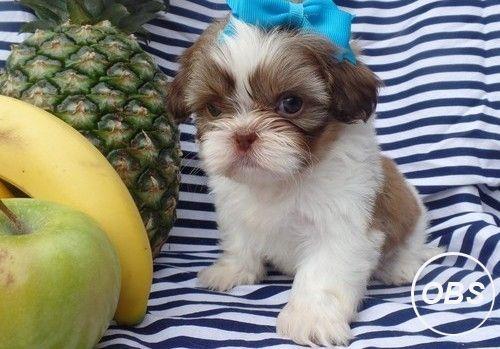 Shinning Shih Tzu Puppies Shih Tzu Puppy Service Animal Pets