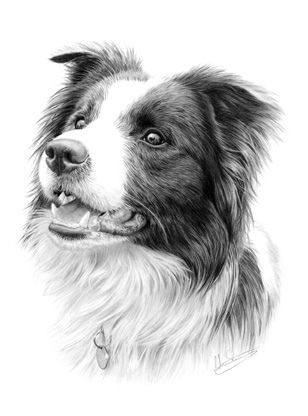 Adult Border Collie drawn using graphite pencil