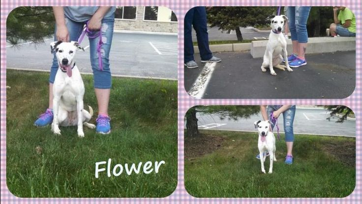 Meet Flower, a Petfinder adoptable Fox Terrier Dog | Dover, OH | Princess Flower is a 10 month old Fox Terrier/Dalmatian mix who was rescued from a dog pound this...
