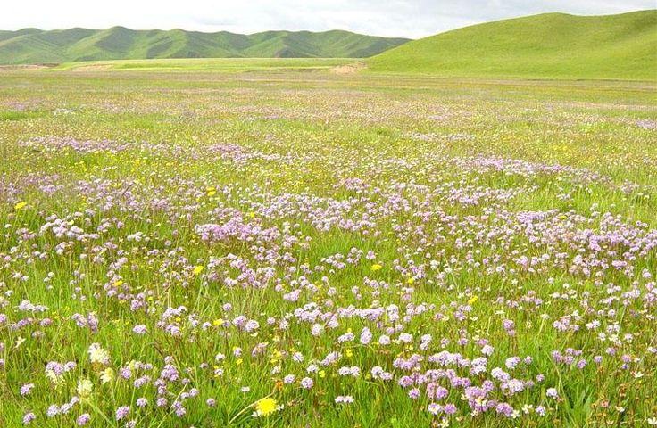 ピンクの草原