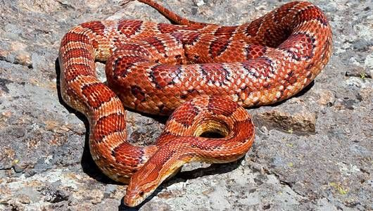 Corn snake, Non Poisonous  orange or brownish-yellow, with large, black-edged red blotches down the middle of the back.   range in length from 24 to 72 inches.   * They are most abundant in Florida and the Southeast.  *