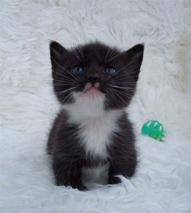 How much does a Manx kitten cost? Click the picture to read