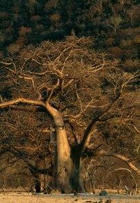 Fine Art Landscape Photography | Koos van der Lende.   Boababs in the bushveld.    © Koos van der Lende photography www.delende.com