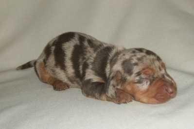 dapple dachshund puppies for sale | Miniature Dachshund Puppies For Sale AKC
