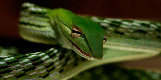 11 Best Asian Vine Snakes Images On Pinterest Vines