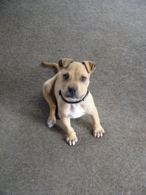 Little Mandy is around 8 weeks old. Delightful wee girl, loves people and well socialised with other dogs. She will likely grow to be a medium sized dog