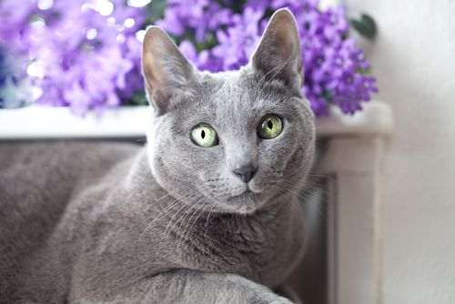 The Russian Blue is a beautiful cat breed that comes in only one coat color and density, which is the uniform grayish blue hue that we all instantly recognize. Their majestic eyes draw us in, and this breed is …