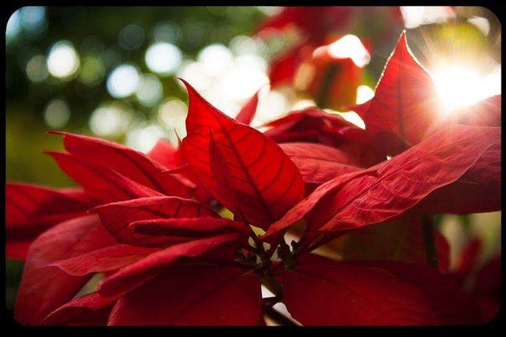 The deeper meanings behind the lovely Christmas plant. Poinsettias became known for their symbolism as well as their beauty. The shape of the plant's flower and leaves resemble the Star of Bethlehem, which led the Magi to the Christ Child. The red color reminds us of Christ's Blood, shed for our salvation. Some poinsettias have white leaves, which remind us of Christ's purity. Green symbolizes life and hope.