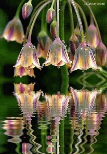 Flower bells reflecting in water