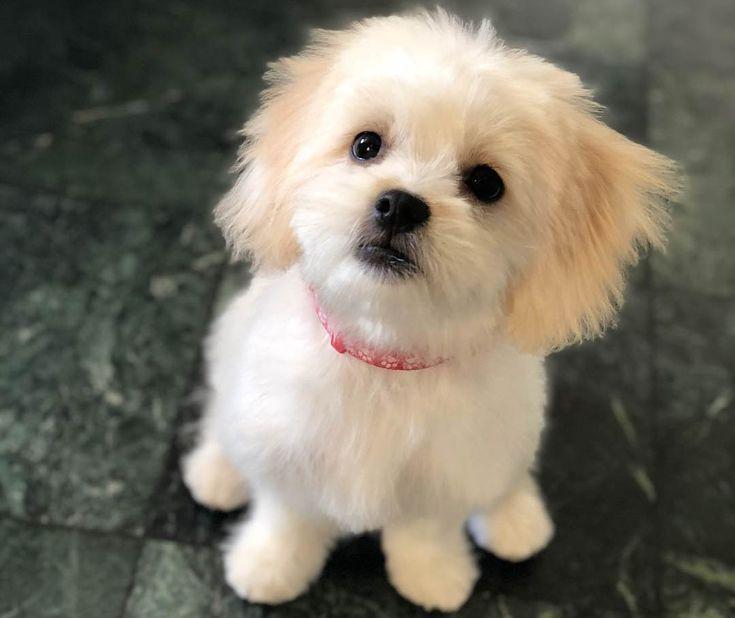 Malteser Shih Tzu Malshi 12 Uberraschende Fakten Die Sie Wissen Sollten Malshi Die Fakten Malshi Malt Malteser Hund Malteserwelpen Shih Tzu Hund