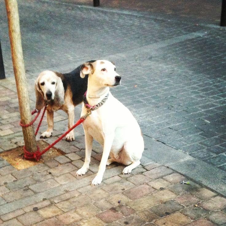Pareja de canes esperando... Madrid