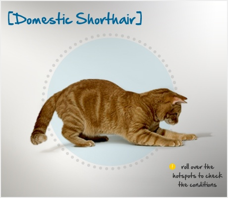 """Did you know that the """"Domestic Shorthair,"""" which is a fancy way of saying your typical mixed cat, are generally healthy, with few of the complications sometimes seen in purebreds? Read more about this breed by visiting Petplan pet insurance's Condition Checker!: Cat Rules, Cat Beautiful, Birman Cat, B Cat, Cutest Cat, Acat Meowwwwww, Cat Orlov, Cat Breeds, A Cat"""