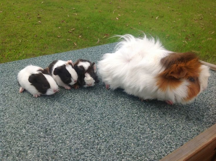 How To Safely Breed Guinea Pigs