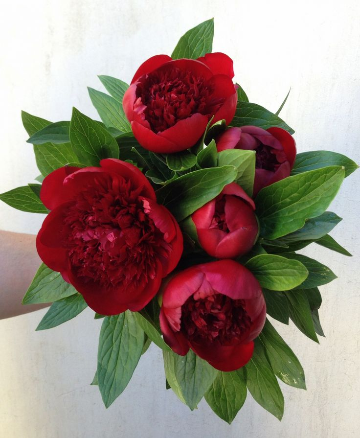 Red Charm Christmas Peonies