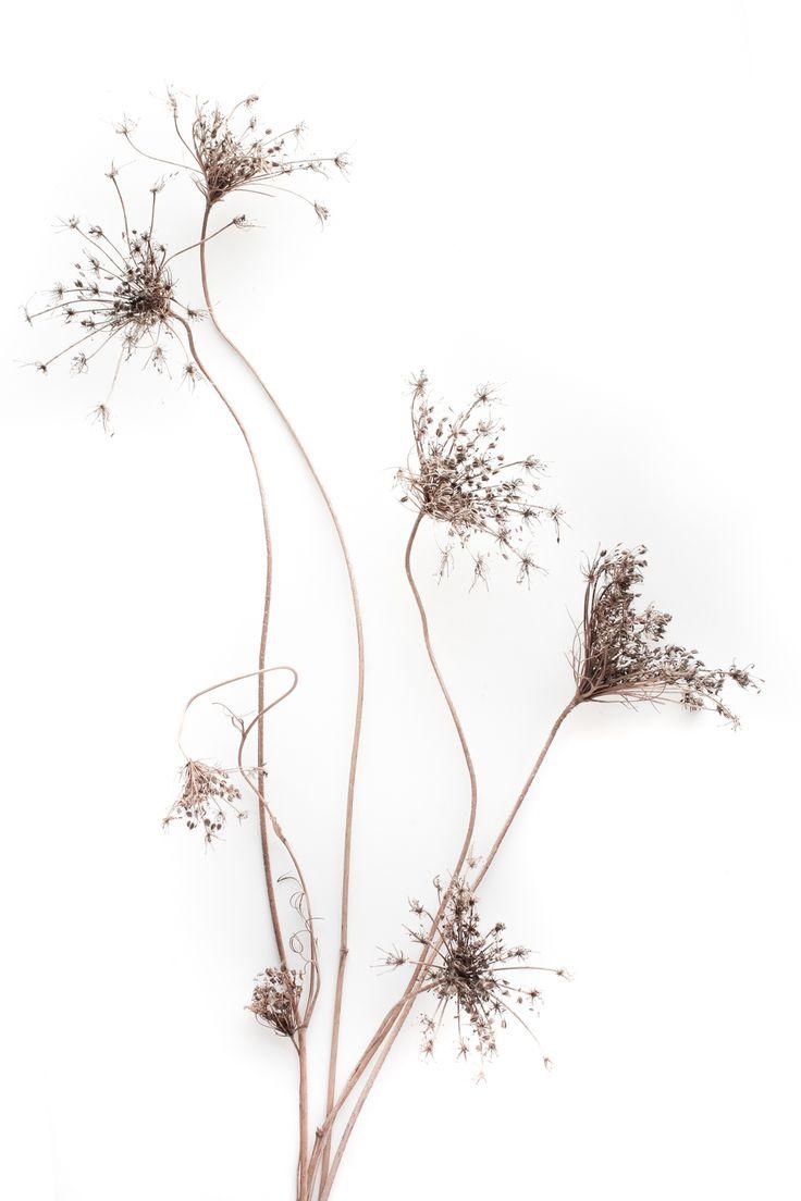 cumpleaños- no hay velas ni tarta pero hay luces de bengala que el otoño enciende para ti     especie: tallos con flores secas con frutos de zanahoria silvestre Daucus carota recolección: camino de Casalobos, Picón. Ciudad Real