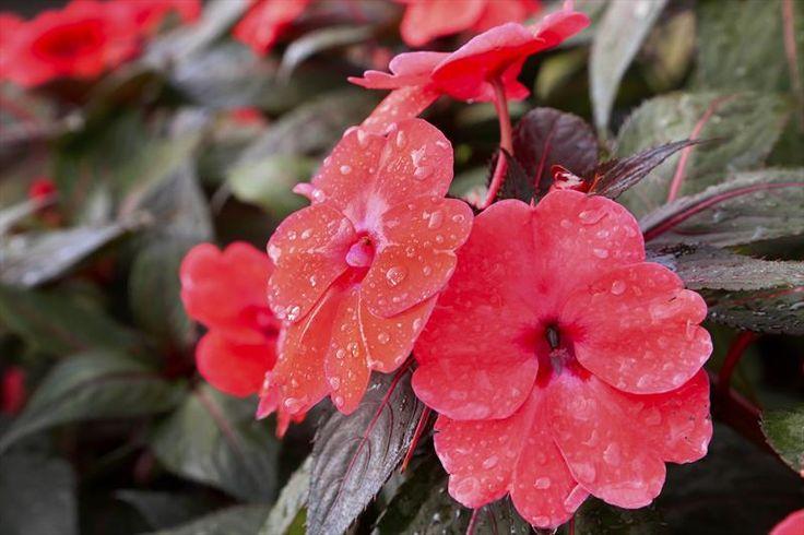 Flores de Curitiba. Jardim Botânico recebe nova produção de flores do Horto Municipal - Álbum - Prefeitura de Curitiba. Foto: Luiz Costa/SMCS