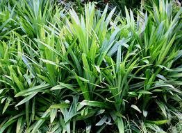 """Pandanus - """"Reduces the absorption of LDL  (bad fat) cholesterol"""". Good for heart health and prevents coronary heart disease."""