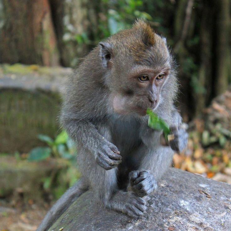Ubud Bali Indonesia #monkey #ubud #wildlife #wildlifephotography #bali #igersbali #indonesia #wonderfulindonesia #livefolkindonesia #balidaily #unlimitedbali #explorebali
