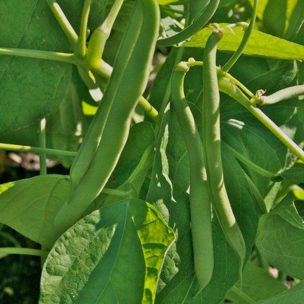 32 Best Bean Seeds Images On Pinterest Bean Seeds Free