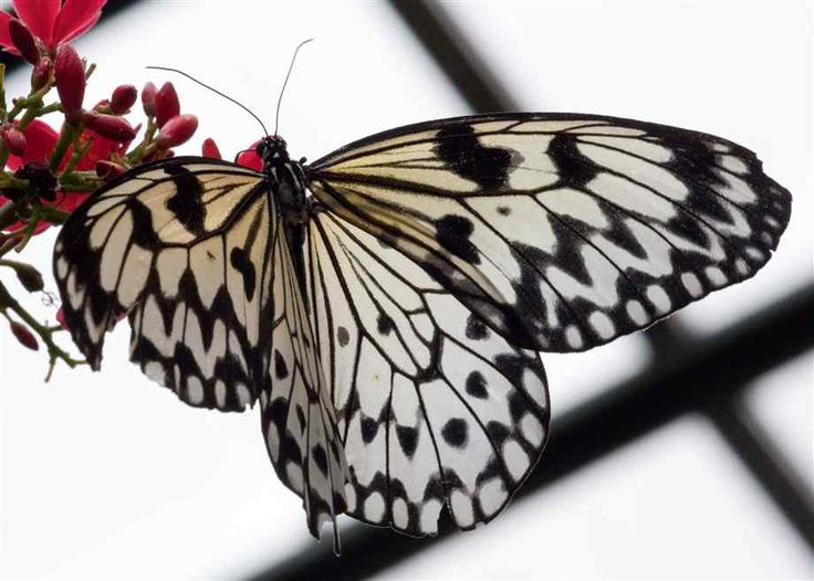 Paper Kite Butterfly: Photos