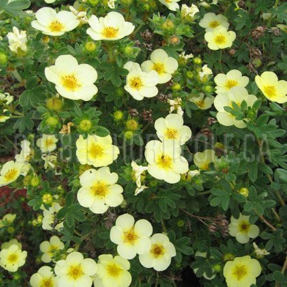 image de Potentilla fruticosa Primrose Beauty. Flowers from may to November. Flowers best in full sun. Otherwise primrose vulgaris for shade with spring flowers.Full sun or part shade.
