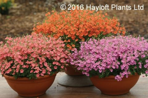 Buy Diascia Collection Online | Hayloft Plants