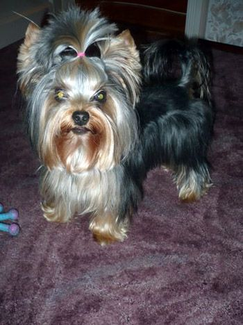 yorkie hair cut styles 17 best images about yorkies with tails undocked 8517