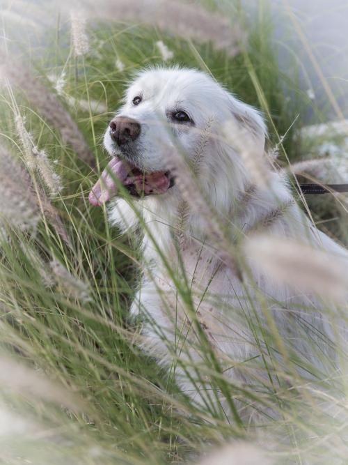 Adopt A Dog From Golden Retriever Rescue Sw Florida Pet Adoptions