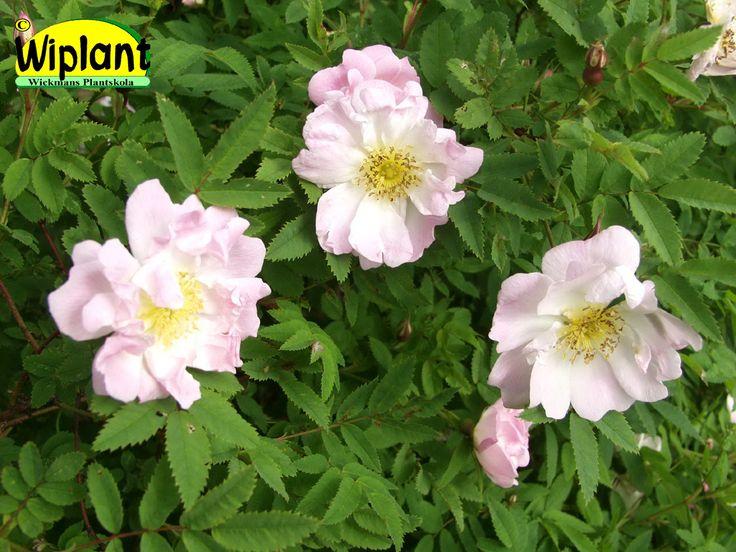 Rosa pimpinellifolia-gruppen 'Kerisalo', Ros. FinE-sort.  Blommar lax-ljusrosa i juli.  Höjd 1,5-2 m.  Zon IV.