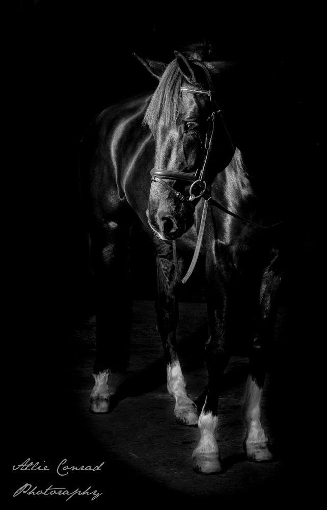 William in Black and White.  Studio Portraiture of beloved horses, By Allie Conrad, www.allieconradmedia.com