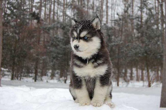 mini husky wolf mix puppies | Zoe Fans Blog