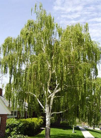 trees for front yard: Weeping Birch. i desperately want one of these beauties in our front yard