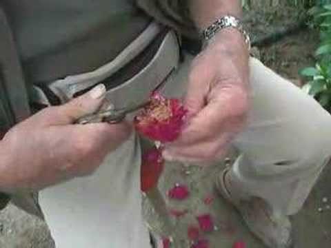 Giulio Pantoli svela i segreti dell'ibridazione delle rose