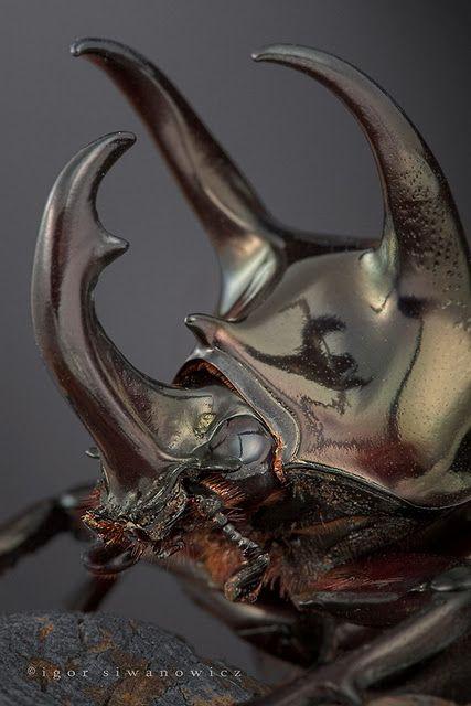 Rhinoceros beetle, macro photograph by Igor Siwanowicz.