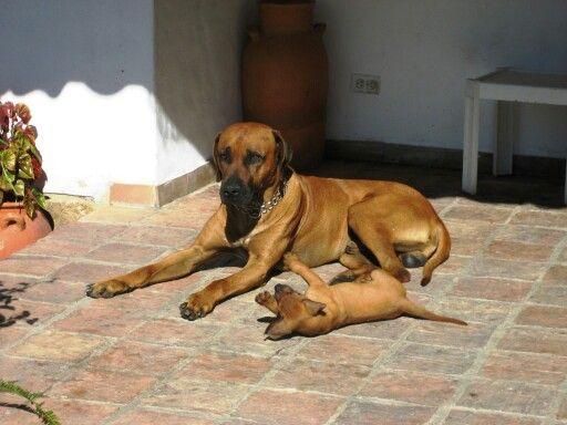 Rhodesian ridgeback and puppy