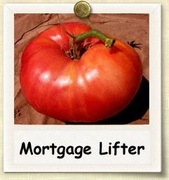 Mortgage Lifter Tomato-going to look for this tomato this year and plant it in a pot