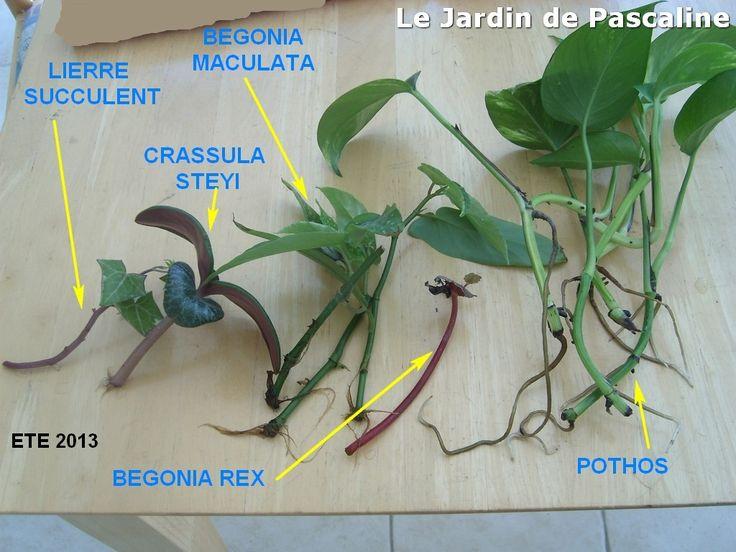 Boutures d'eau été 2013 : même une plante grasse trempée dans l'eau peut raciner ! A gauche une Crassula Steyi