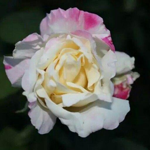 Peace Garden Rose