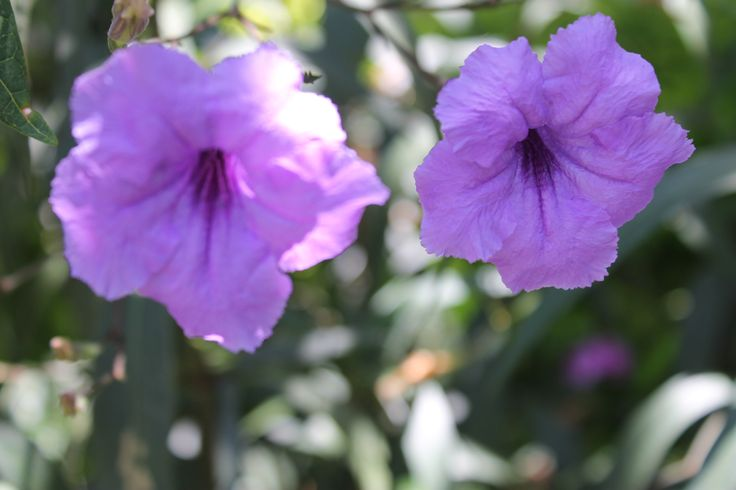 Flores Sede Pance