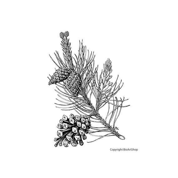 black pine (pinus nigra L.)