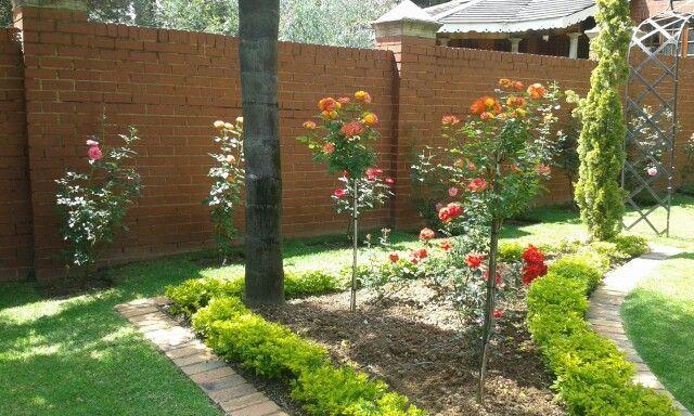 Formal rose garden. Durban July standard rose and Satchmos. Still a work in progress.