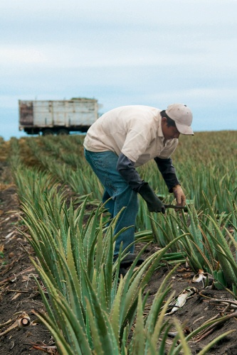 Yves Rocher has built a partnership with Mexican producers to guarantee that the plants are traditionally and organically grown. Pictures by ALOECOR #yvesrocherusa #organicbeauty