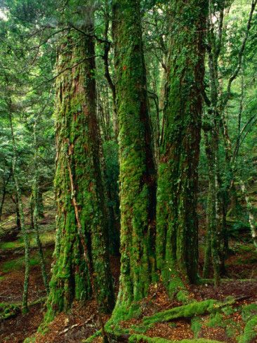 Myrtle Beech (Nothofagus Cunninghamii) in Mersey Valley Rainforest, Tasmania, Australia Photographic Print by Rob Blakers at AllPosters.com