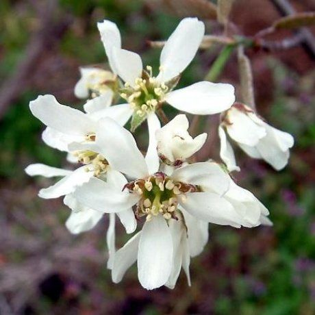 Amelanchier canadensis - Shad Bush | Southern Woods