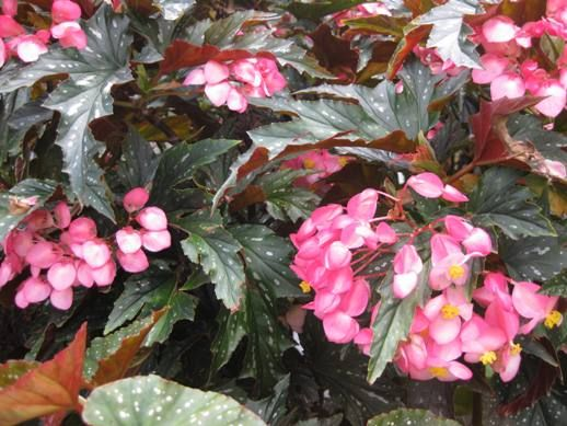 when to prune cane stemmed begonias  feed  mulch etc
