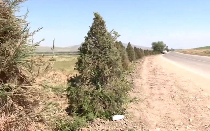 В Бишкеке покрасили деревья к саммиту СНГ