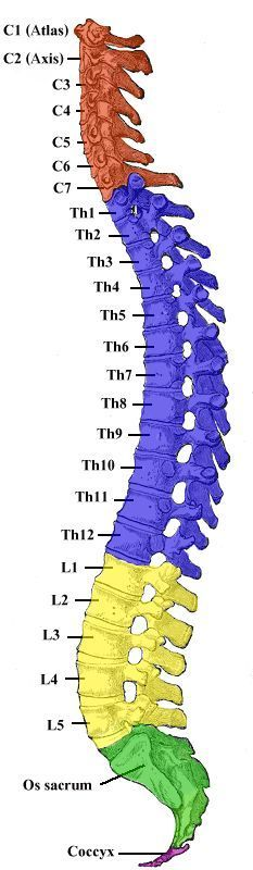 Spinal column showing numbered vertebrae which are the names of each bone and which section each bone belongs to. #VisualVocabulary