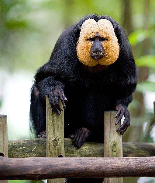 Pitheciidae | Endangered Living