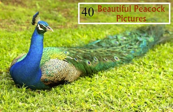 40 Beautiful Mind Relaxing Peacock Pictures
