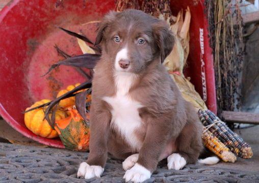 Border Collie puppy for sale in MOUNT JOY, PA. ADN-53634 on PuppyFinder.com Gender: Male. Age: 7 Weeks Old